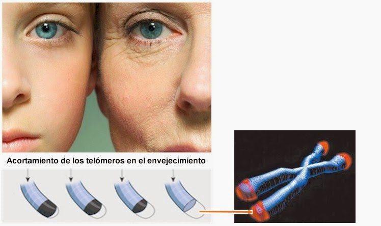 El Envejecimiento y La Telomerasa.