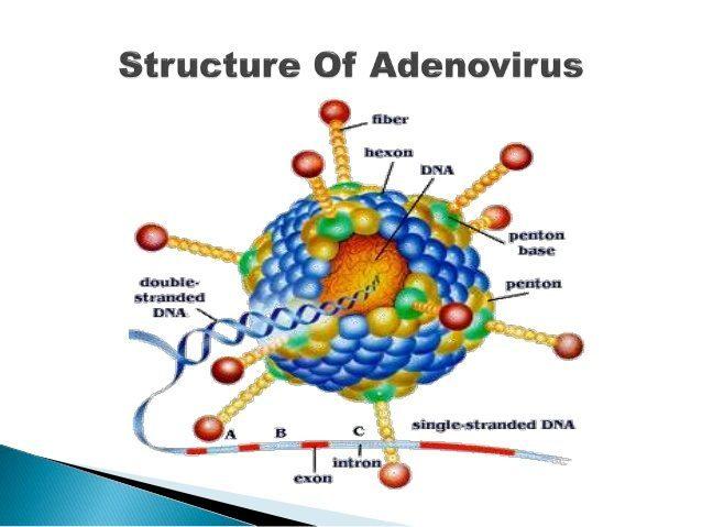 Logran un adenovirus de una alta especificidad contra las células tumorales.